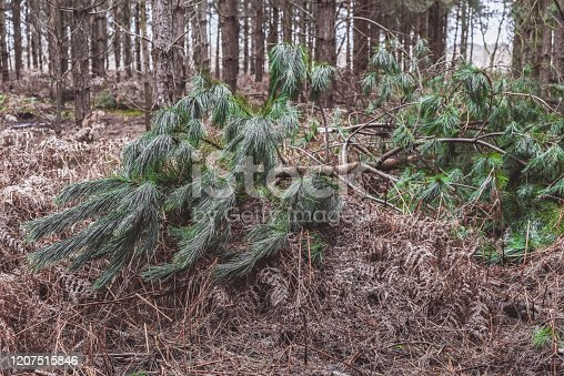 Fallen tree in a forest blown over by high winds