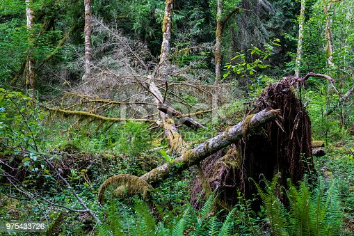 Fallen tree in a lush green forest uprooted with moss and debris