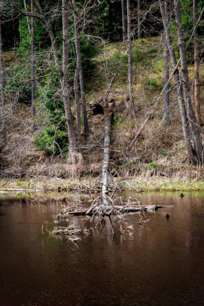 Fallen tree in river stock photo