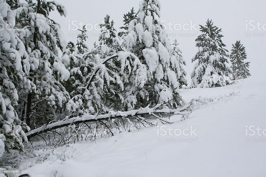 Fallen Tree in Snow stock photo
