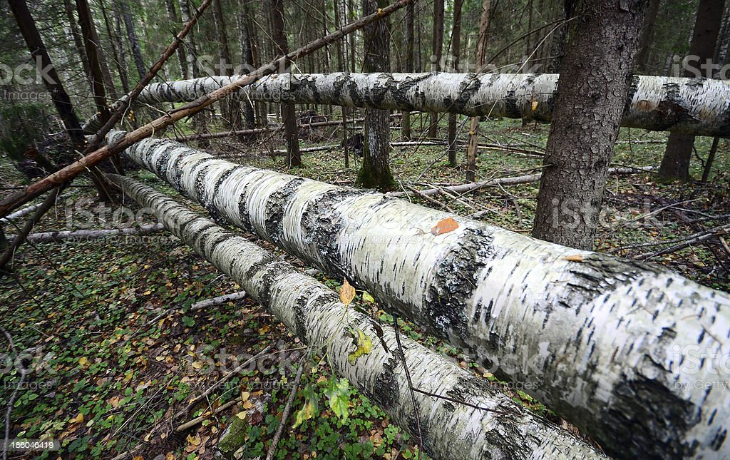 Fallen tree in the autumn forest royalty-free stock photo