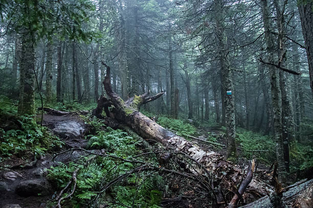 Fallen tree in the forest of Mont Tremblant National Park Fallen tree in the forest of Mont Tremblant National Park, Quebec / Canada on a foggy and rainy day fallen tree stock pictures, royalty-free photos & images