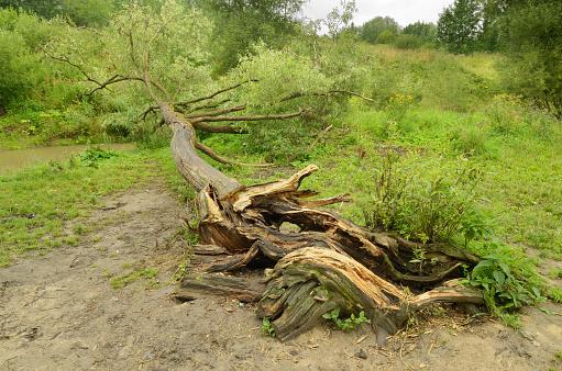 A fallen tree in the Park.