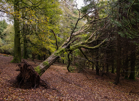 A fallen tree leaning against other trees in a wood on Dartmoor, England