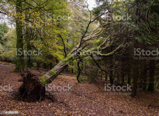 Photo of A fallen tree leaning against other trees in a wood on Dartmoor, England