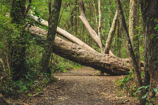 fallen tree on a walking path in New Zealand