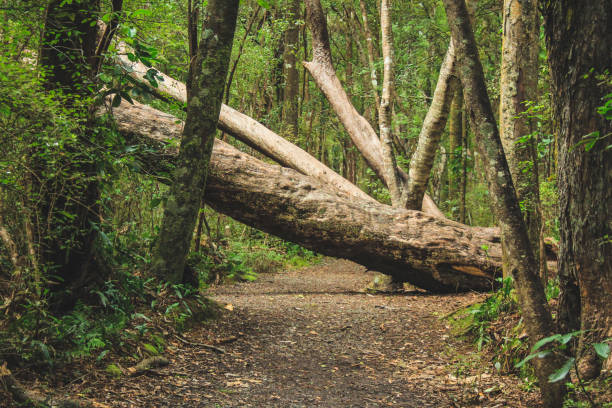 fallen tree on a walking path in New Zealand wild forest fallen tree stock pictures, royalty-free photos & images