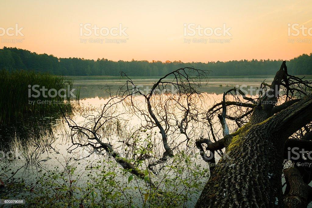 Fallen tree on swampy water reservoir just before sunrise. foto de stock royalty-free