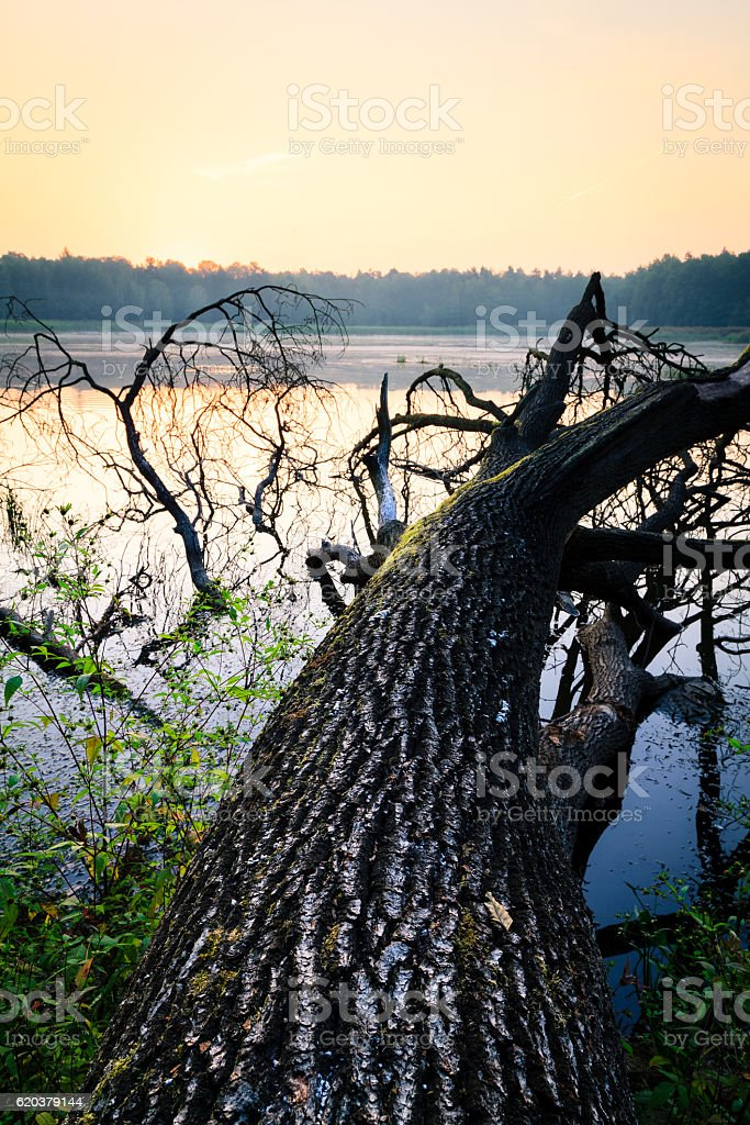 Fallen tree on swampy water reservoir just before sunrise. zbiór zdjęć royalty-free
