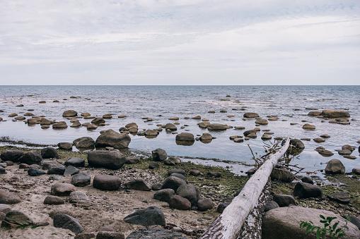 Fallen tree on the Rocky shore of the Baltic Sea in Kaltene Latvia
