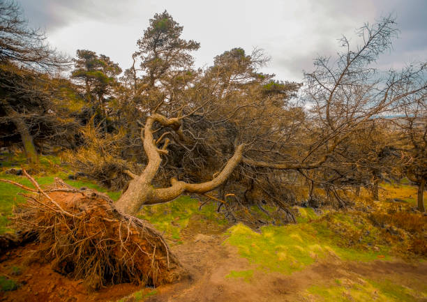 Fallen tree a fallen tree showing its root structure fallen tree stock pictures, royalty-free photos & images
