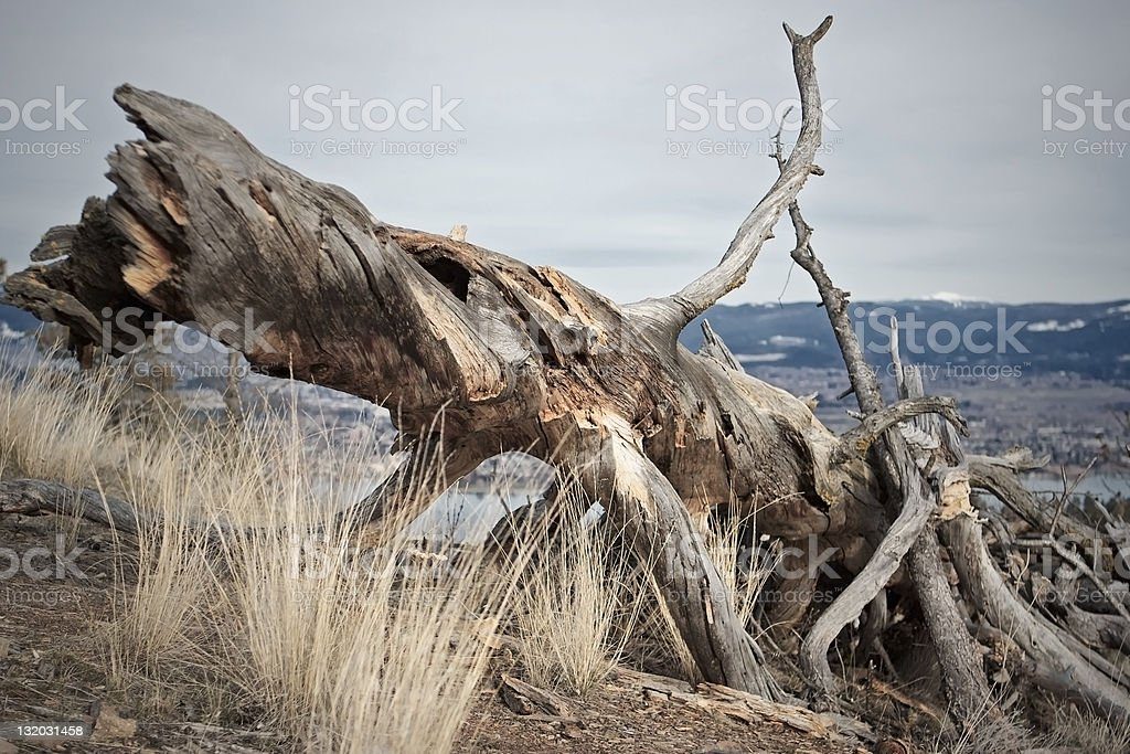 Fallen twisted tree royalty-free stock photo