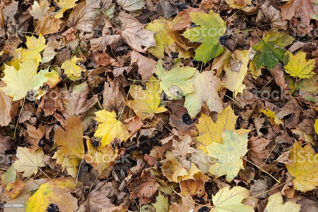 Fallen Winter Maple Leaves stock photo
