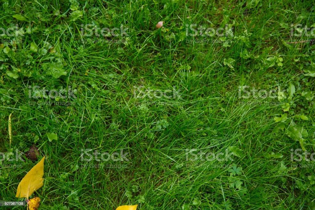 Fallen yellow leaves on green grass in autumn Fallen yellow leaves on green grass in autumn park Autumn Stock Photo