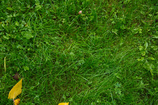 Fallen Yellow Leaves On Green Grass In Autumn Stock Photo - Download Image Now