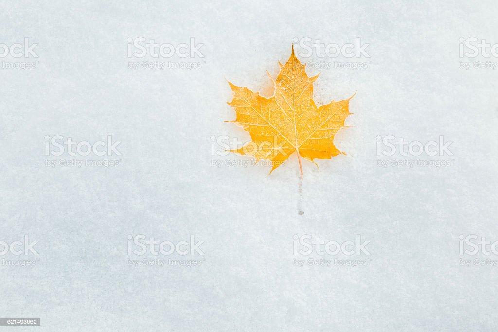 Fallen yellow maple leaf on the snow. Winter background. Lizenzfreies stock-foto