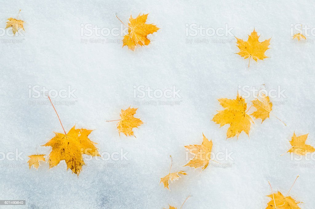 Fallen yellow maple leaves on the snow. Winter background. photo libre de droits