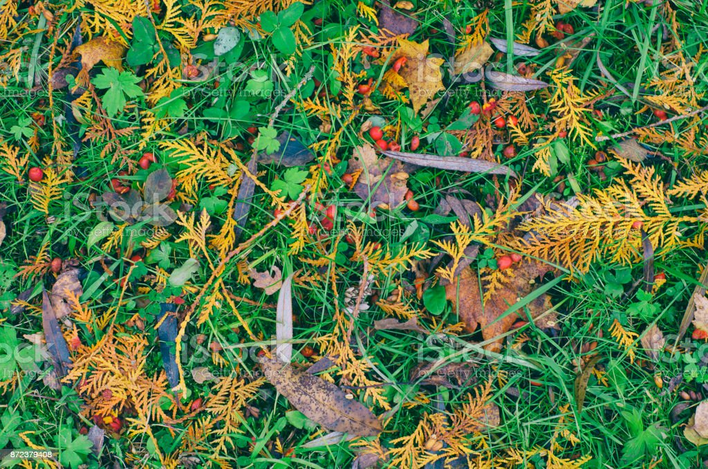 Fallen yellow twigs of the larch, the leaves and berries of wild rose stock photo