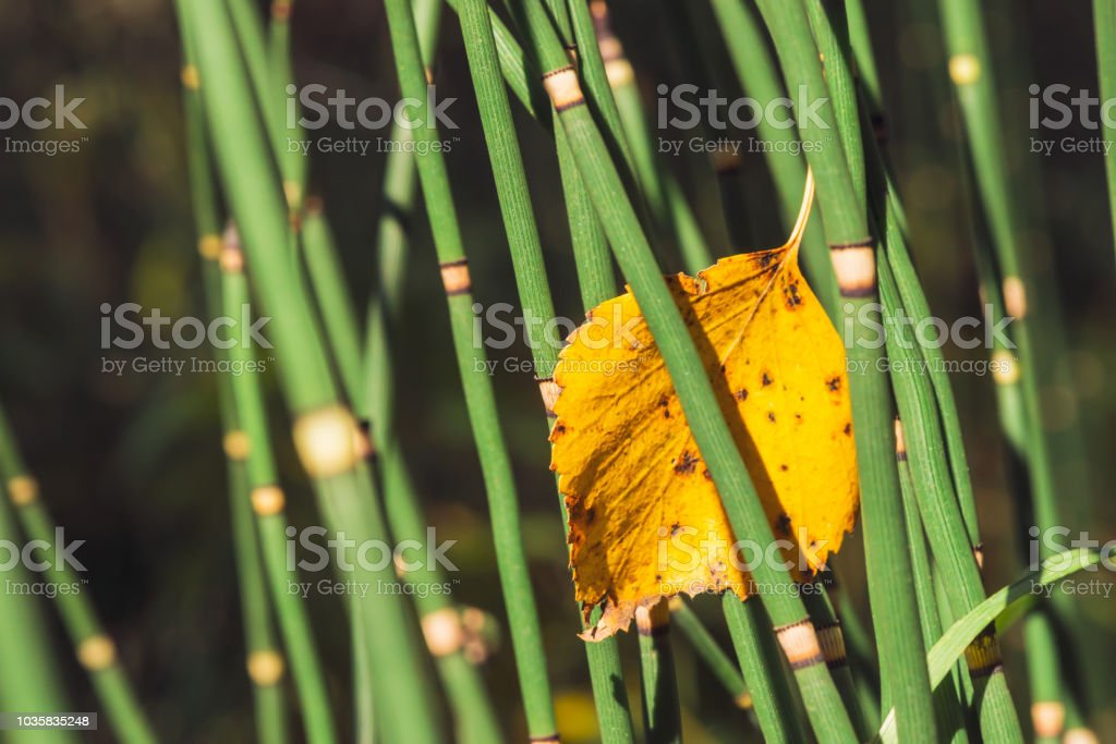 Fallen yellowed woody leaf was stuck between horsetail grass blades. Autumn leaf of  birch close up. Fall green and yellow background with equisetum in sunlight with copy space. stock photo