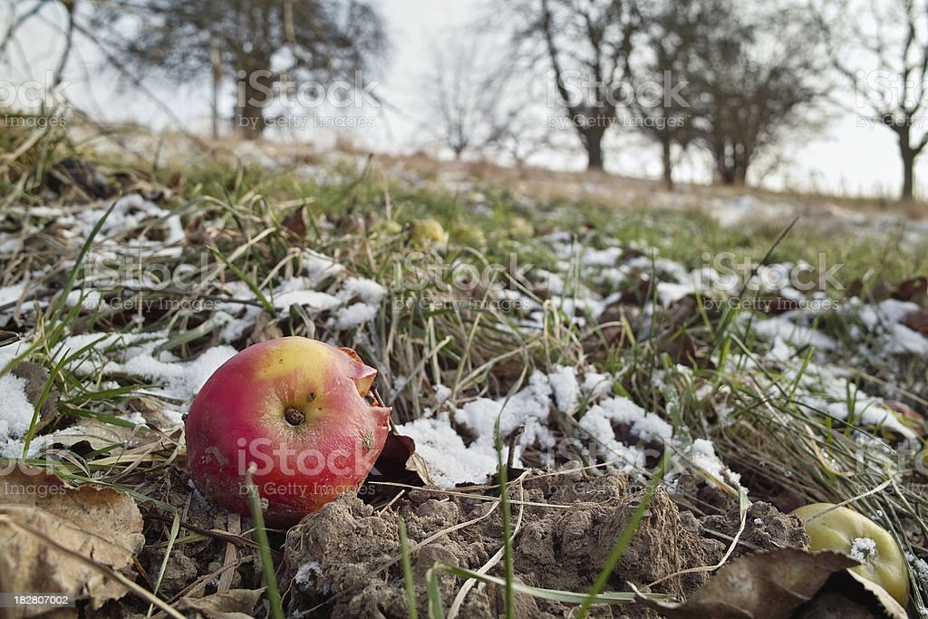 falling apple fruit on cold dezember day stock photo
