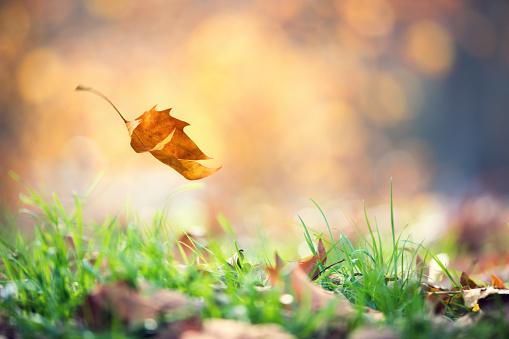 Falling Autumn Leaf