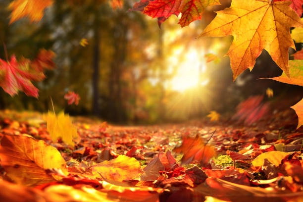 Falling Autumn leaves before sunset stock photo