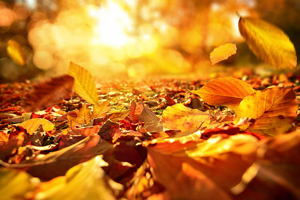 Falling Autumn leaves in lively sunlight stock photo