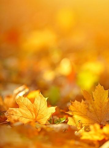 Autumn background with maple leaves.