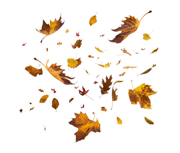 falling autumn leaves on white background - leaf imagens e fotografias de stock