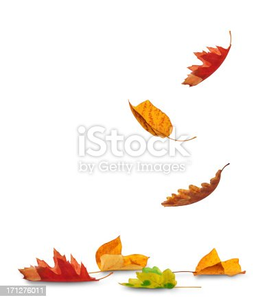 Autumn leaves falling to the ground (white background)...