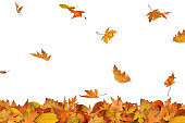 Falling autumn maple leaves isolated on white