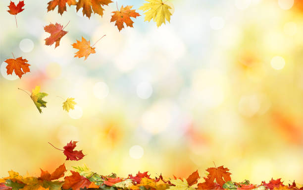Falling autumn maple leaves natural background .Colorful foliage stock photo
