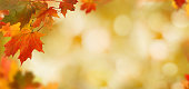 Falling autumn maple leaves natural background .Colorful foliage