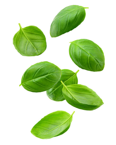 Falling basil, isolated on white background, clipping path, full depth of field Falling basil, isolated on white background, clipping path, full depth of field basil stock pictures, royalty-free photos & images