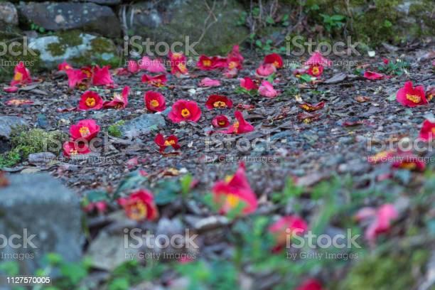 Falling camellia picture id1127570005?b=1&k=6&m=1127570005&s=612x612&h=ankn 0tahjrqne8rvda4o0yg9xkuc2qdwlx0dzilcd0=