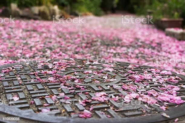 Falling cherry blossom petals on the sewer lid picture id510539035?b=1&k=6&m=510539035&s=612x612&h=kxoj3imlt8e4xi 0xsewb nyl0fjqc9kscm2i7skzcm=