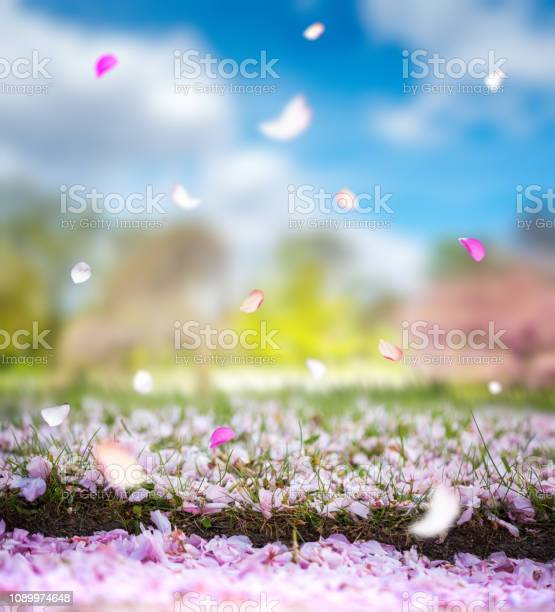 Falling cherry petals picture id1089974648?b=1&k=6&m=1089974648&s=612x612&h=lnuo31qb7rrmw4f7scqwbnyja3gog7eibs3szgmosga=