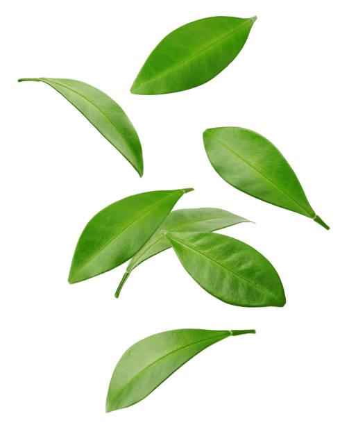 falling citrus leaf, lemon, grapefruit, orange, lime, kumquat, isolated on white background, clipping path, full depth of field - leaf zdjęcia i obrazy z banku zdjęć