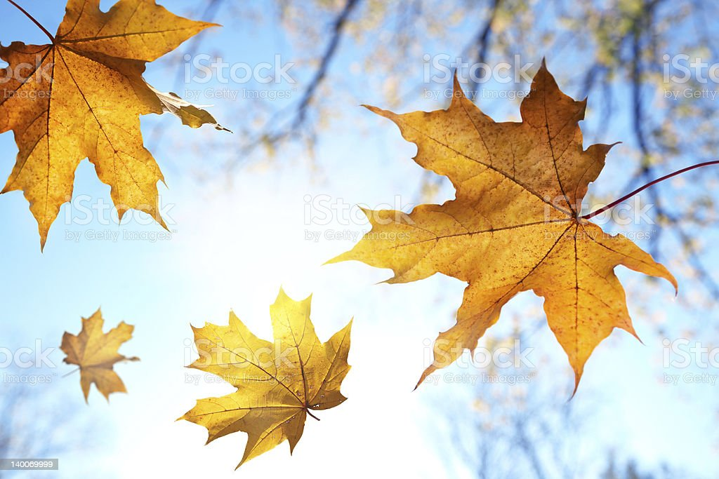 Falling golden autumn leaves on a sunny day stock photo