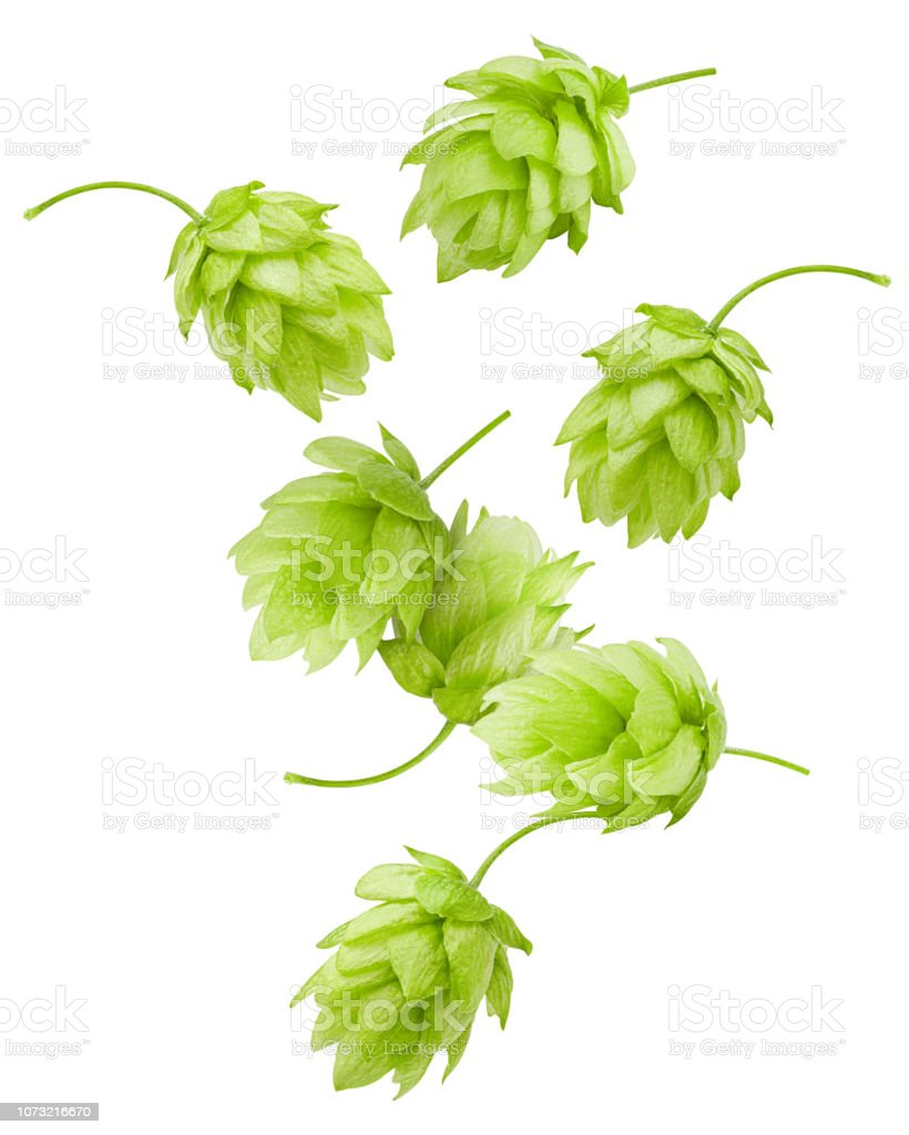 Falling green hop, isolated on white background, clipping path, full depth of field stock photo
