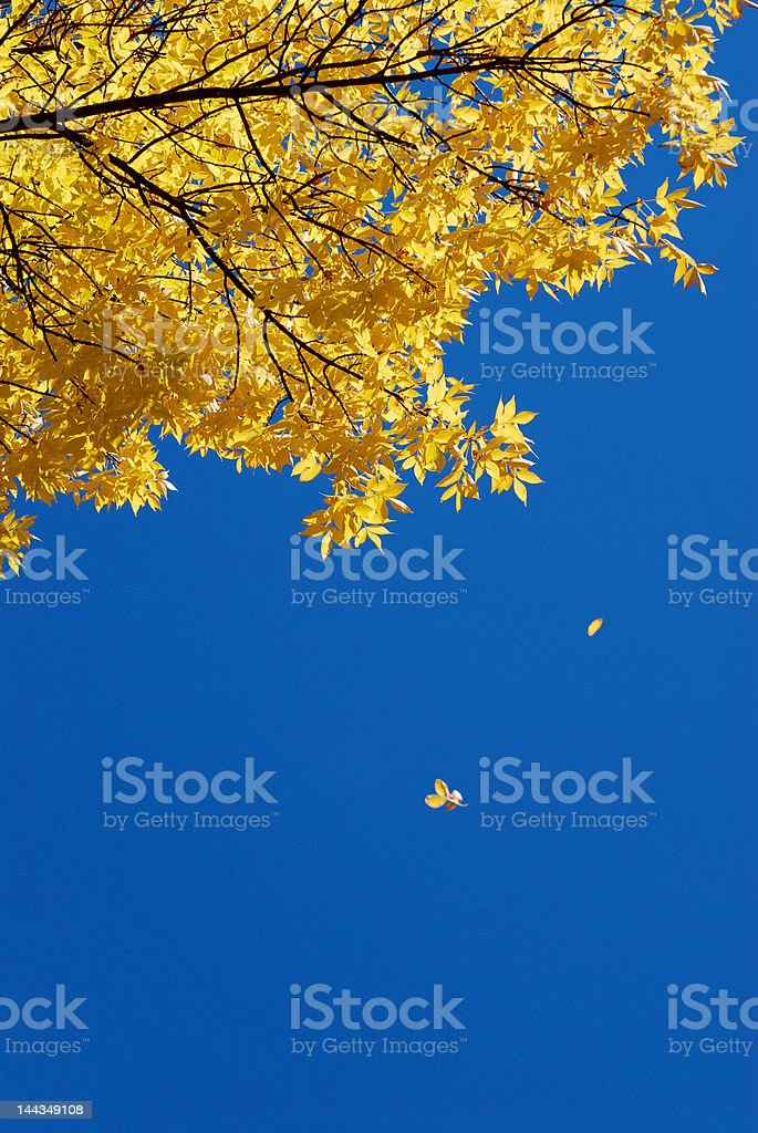 Falling leaves against clear blue sky royalty-free stock photo