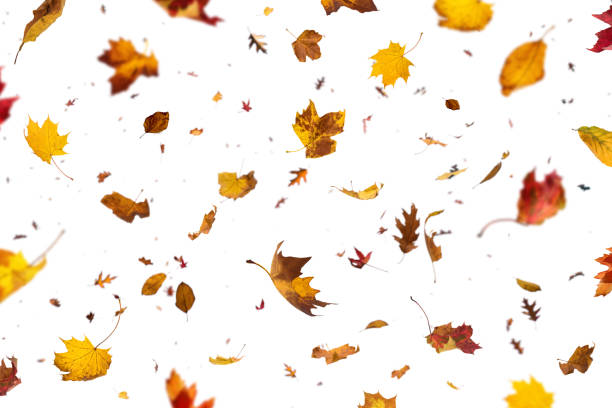 falling leaves on white background - leaf imagens e fotografias de stock