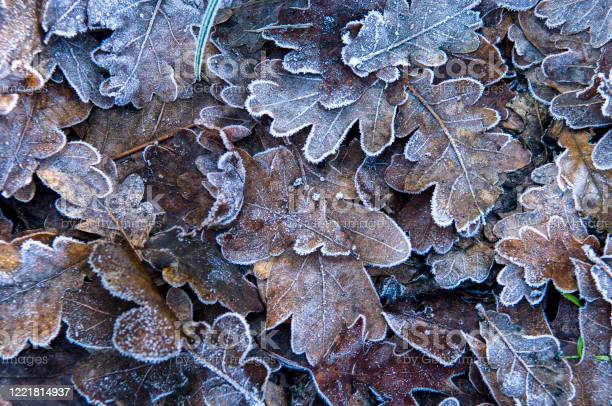 Photo of Falling Leaves with frost in winter time