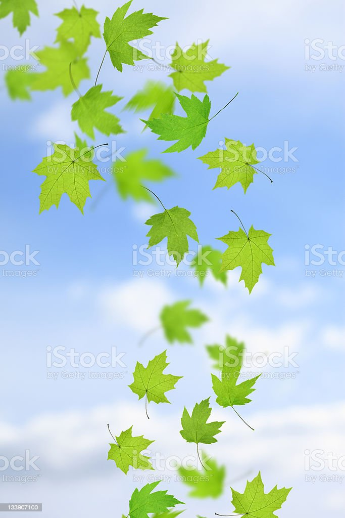 Falling Maple Leaves royalty-free stock photo
