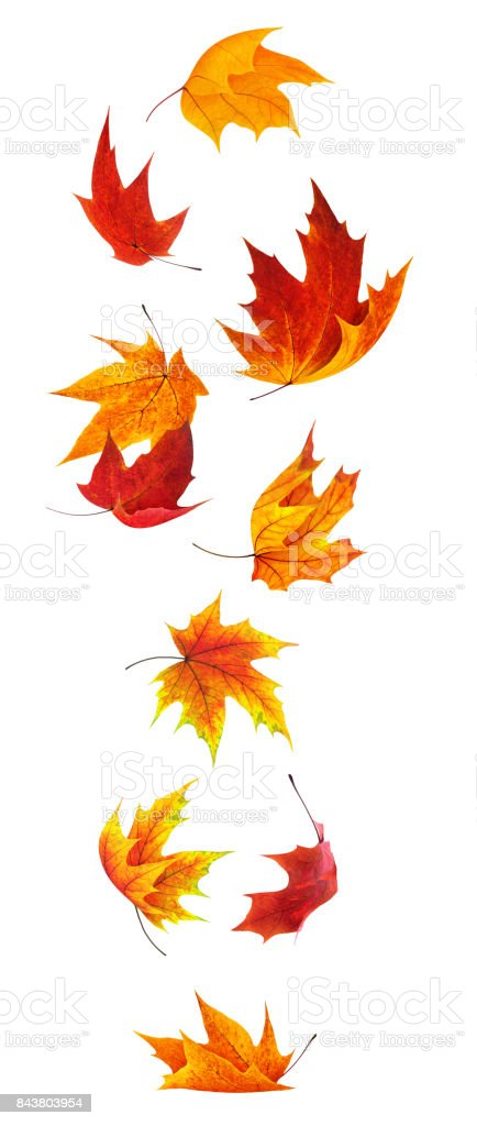 Falling maple leaves - foto stock