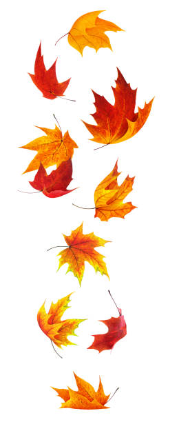 Falling maple leaves stock photo