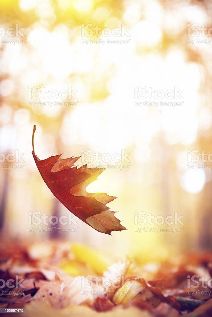 Falling  Oak Leaf royalty-free stock photo