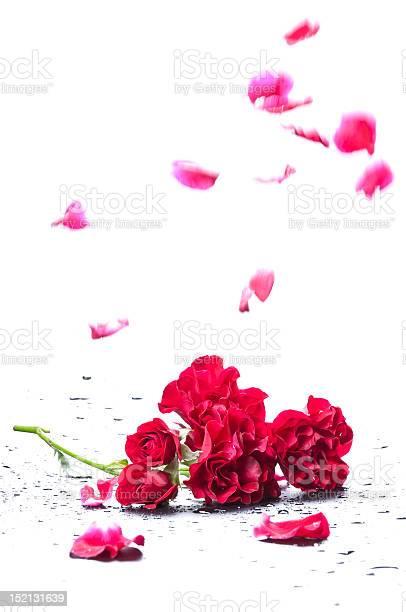 Falling petals of a rose picture id152131639?b=1&k=6&m=152131639&s=612x612&h=me0oc1qepoxvip5mhwydq30ovxbwyszf9jpsey t yo=