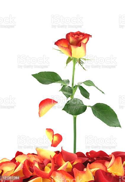 Falling petals picture id121317284?b=1&k=6&m=121317284&s=612x612&h=5snympaycby3ozn b5xvkjxwyl0pgwbl o5g2apcb7i=