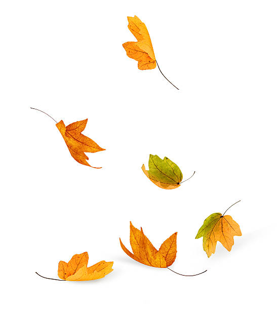 Falling Falling isolated leavesBetter version: fall leaves stock pictures, royalty-free photos & images